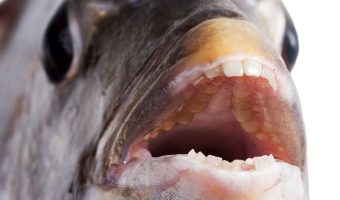 When you think of a fish, you probably don't visualize a gap-toothed grin. Odds are you picture a pursed pair of lips swimming in an aquarium. So, do fish have teeth under their puckered pouts?
